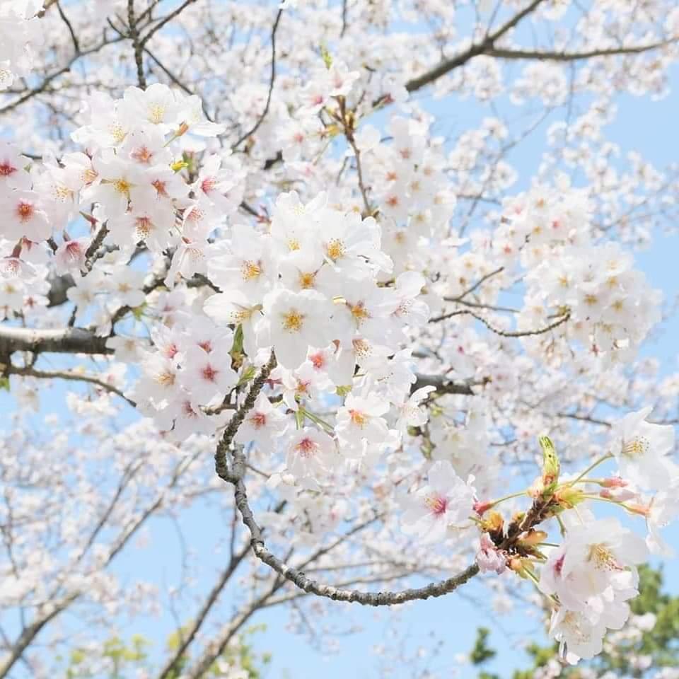 友のくれた桜